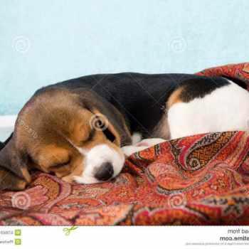 Beagle Blanket