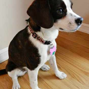 Beagle Boston Terrier Mix