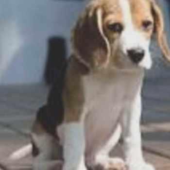 Beagle Breeders Los Angeles