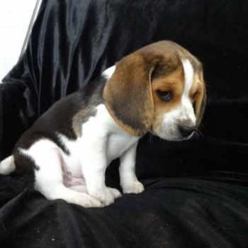 Beagle Breeders New England