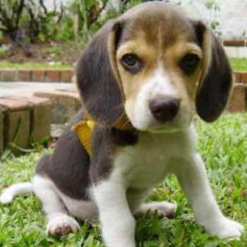 Beagle Breeders Southern California