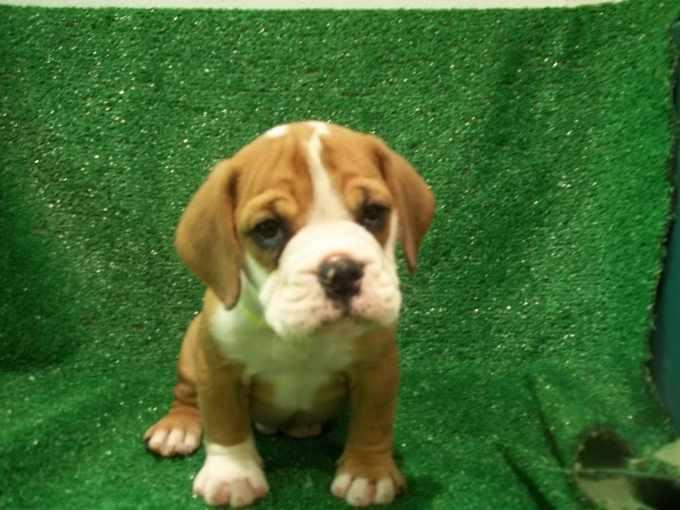 Beagle Bulldog Mix Puppies For Sale