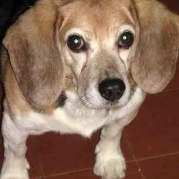 Beagle Cancer