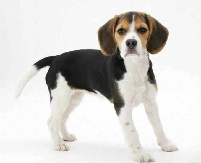 Beagle Characteristics