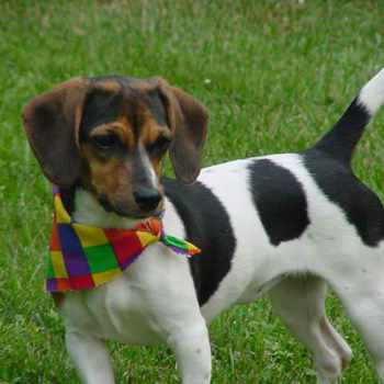 Beagle Dachshund Mix Puppies For Sale