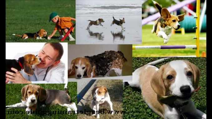 Beagle Dog Training