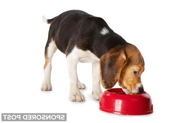 Beagle Feeding