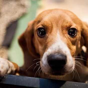 Beagle Freedom