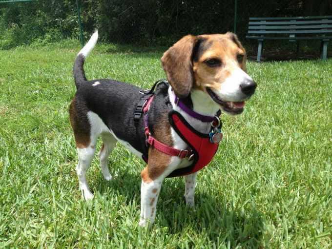Beagle Harness