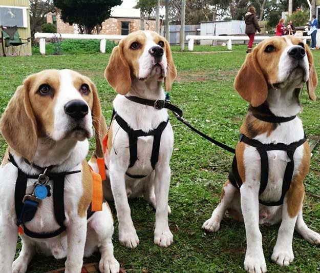 Beagle Hunting Supplies
