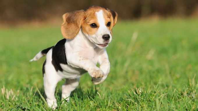 Beagle Hypoallergenic
