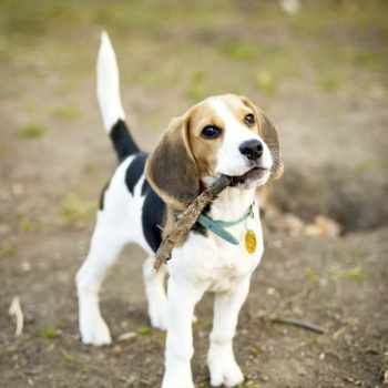 Beagle Jack Russell Mix