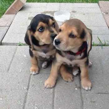 Beagle Lab Mix Puppies For Adoption