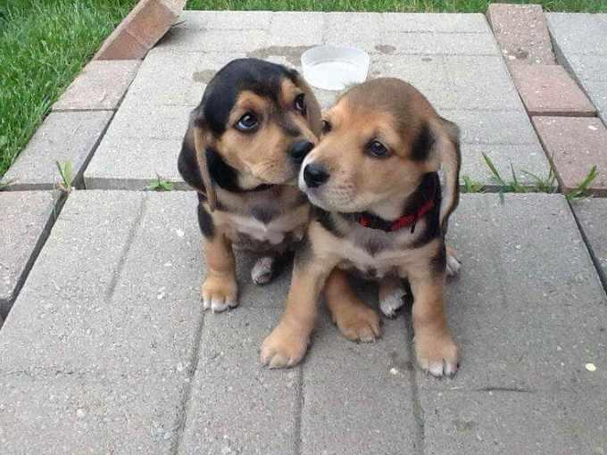 Beagle Lab Mix Puppies Sale