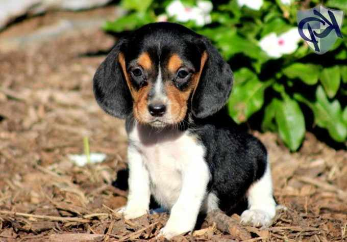 Beagle Mix For Sale