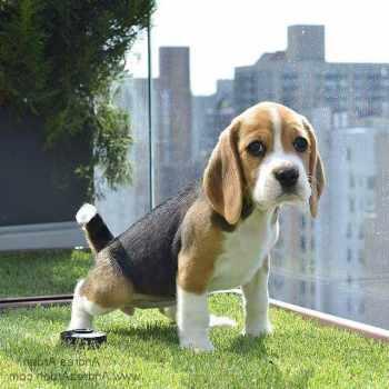Beagle Nyc