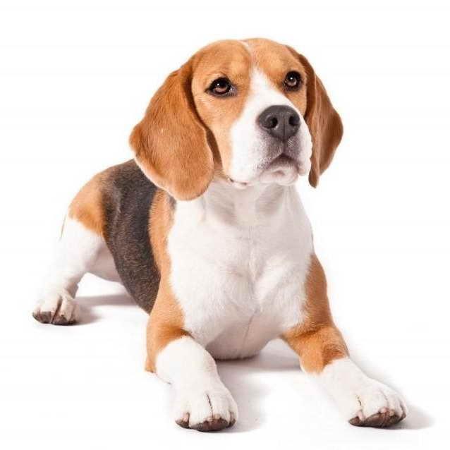 Beagle Precio