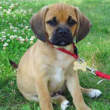 Beagle Pug Mix Puppies For Sale