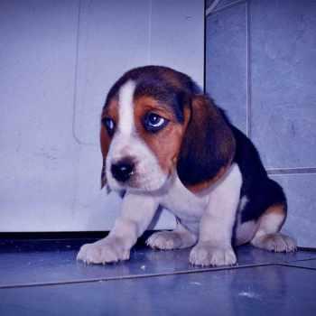 Beagle Puppies Az
