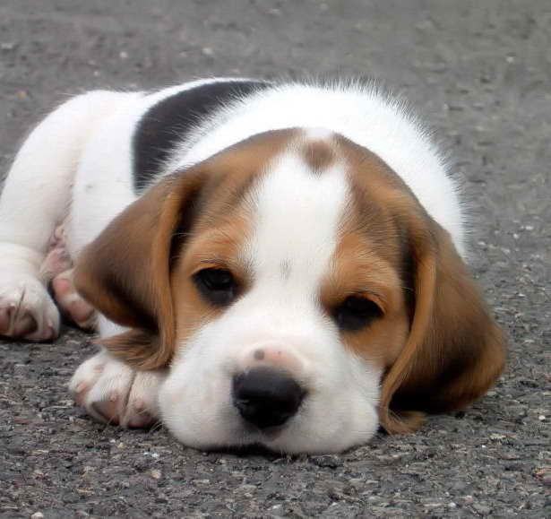 Beagle Puppies Bay Area
