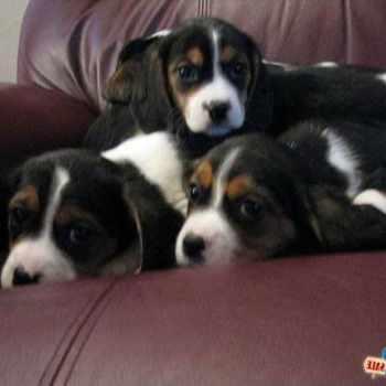 Beagle Puppies For Sale Columbus Ohio
