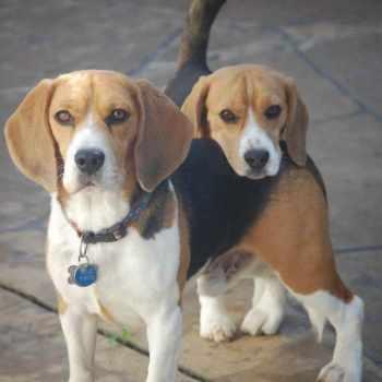 Beagle Puppies For Sale El Paso Tx