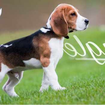 Beagle Puppies For Sale Florida