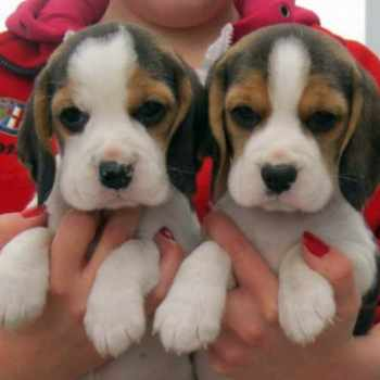 Beagle Puppies For Sale In Delaware