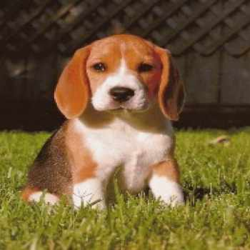 Beagle Puppies For Sale In East Texas
