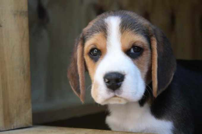 Beagle Puppies For Sale In Ga