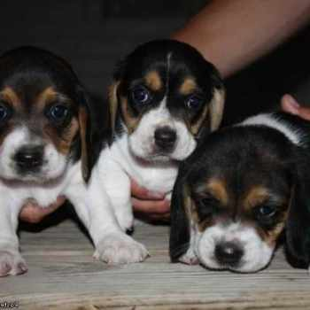Beagle Puppies For Sale In Indiana