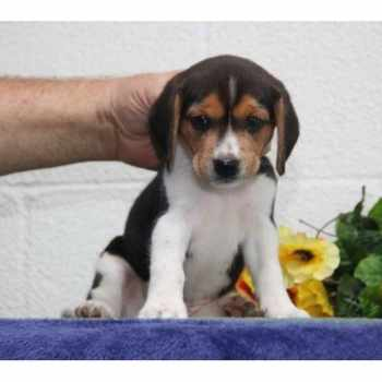 Beagle Puppies For Sale In Lancaster Pa