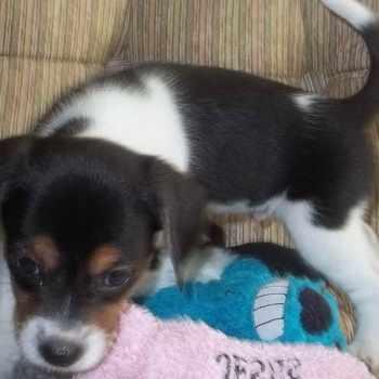 Beagle Puppies For Sale In Richmond Va
