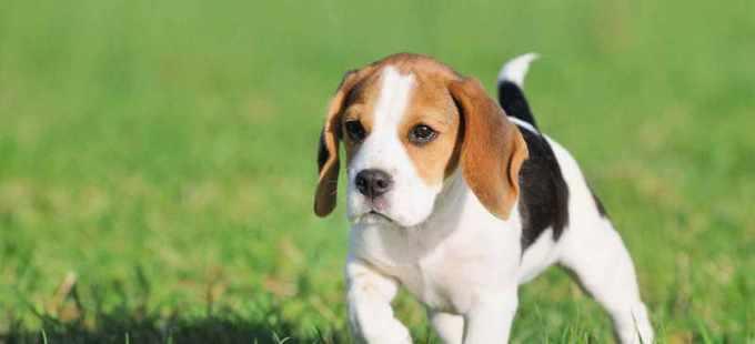 Beagle Puppies For Sale In Va