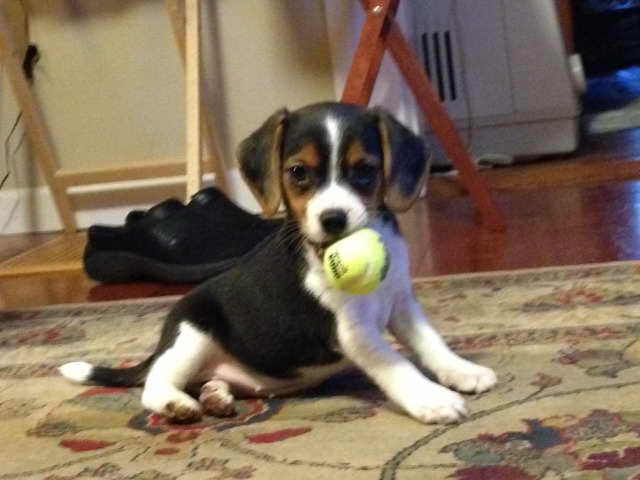 Beagle Puppies For Sale In Washington State