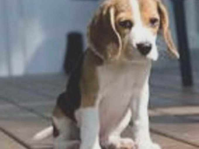 Beagle Puppies For Sale Los Angeles