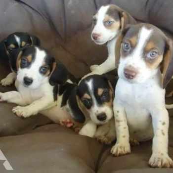Beagle Puppies For Sale Ohio
