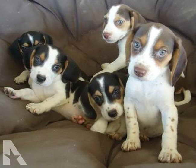 Beagle Puppies For Sale Ohio