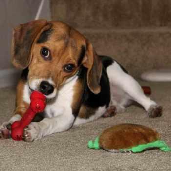 Beagle Puppies Illinois