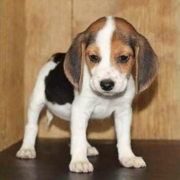 Beagle Puppies In Orlando
