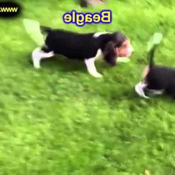Beagle Puppies Indianapolis