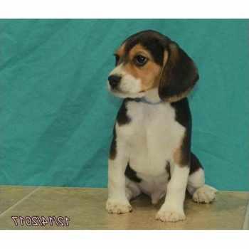 Beagle Puppies Kansas City