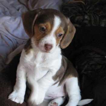 Beagle Puppies Ny