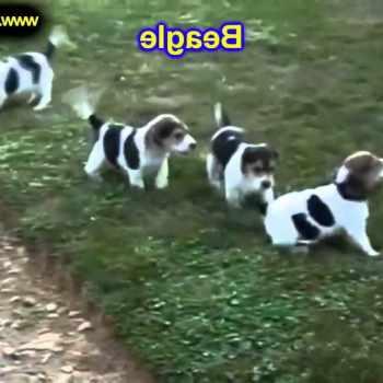 Beagle Puppies Portland Oregon