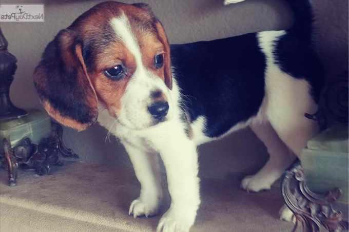 Beagle Puppies San Antonio