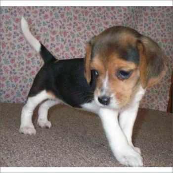 Beagle Puppies South Florida