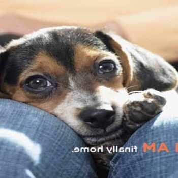 Beagle Puppies Tucson