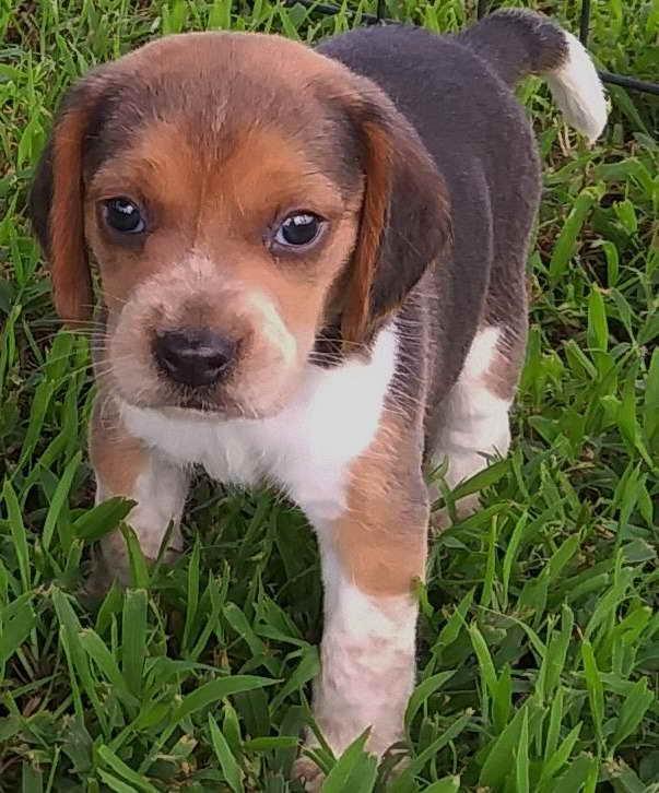 Beagle Puppies Tulsa