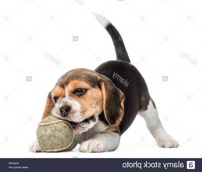 Beagle Puppy Biting
