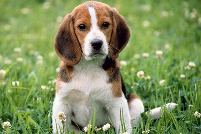 Beagle Puppy Breeders